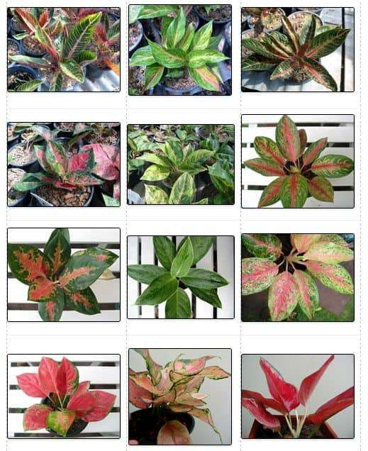 Gallery For > Aglaonema Varieties