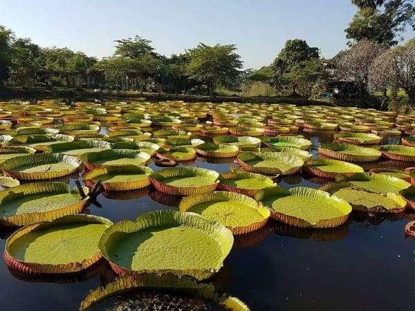 Victoria amazonica in pond
