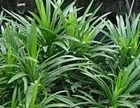 Pandanus Palm Fragrant