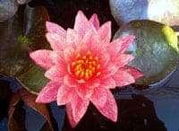 Wanwisa water lily