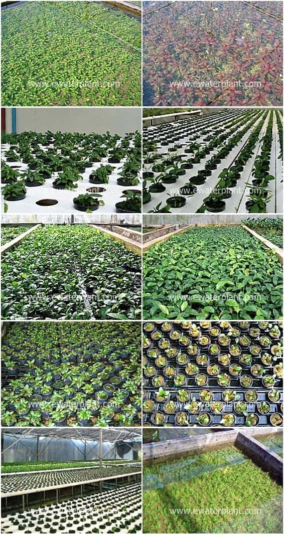 ewaterplant-aquatic-plant-garden-nursery-thailand