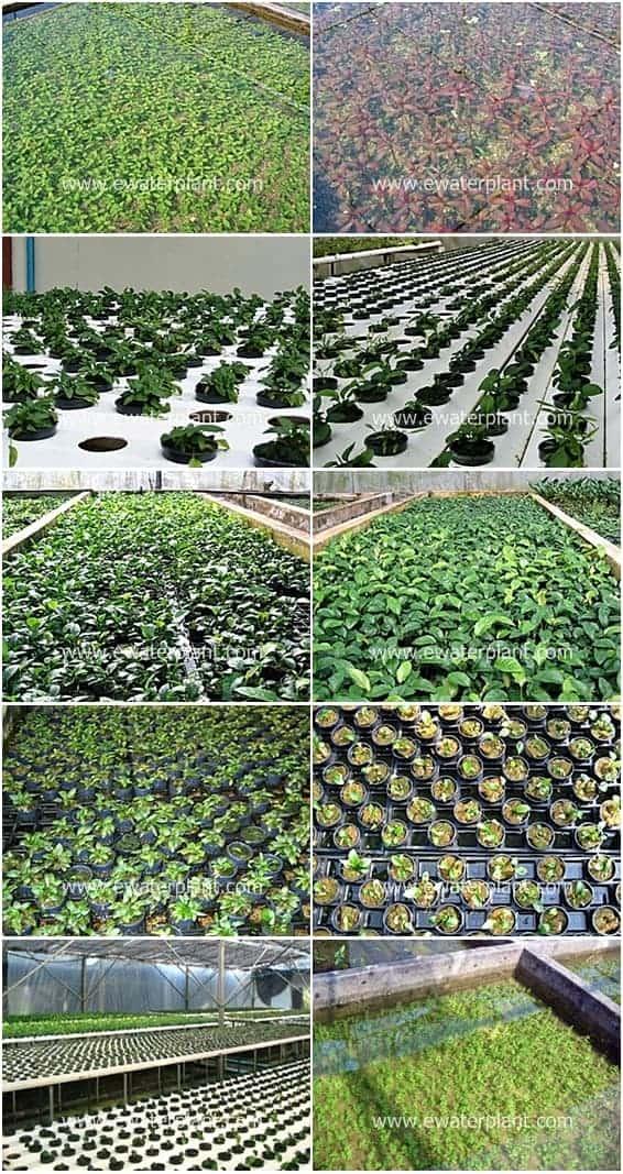 ewaterplant-aquatic-plant-garden-nursery-thailand