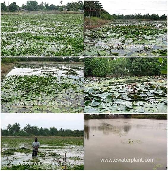 water lily pond- pond plant thailand