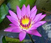 tropical water lily Pink Capensis