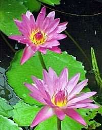 Praow pink water lily bulb
