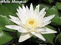 White Mongkol