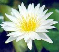 White Thammanoon water lily