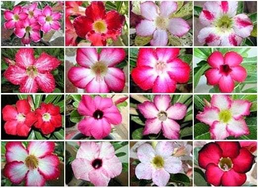 Adenium-standard-flower-tile