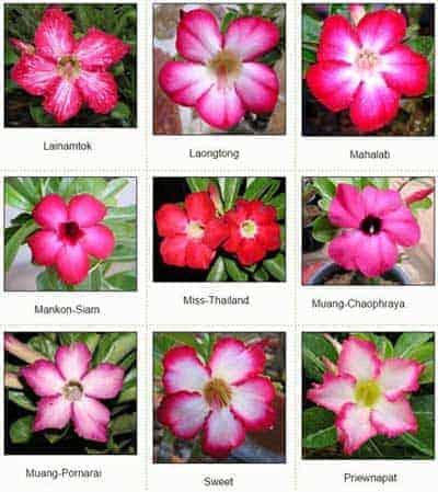 Adenium Thailand standard flower