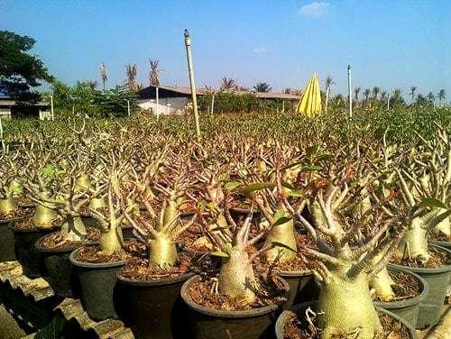Arabicum adenium Thailand