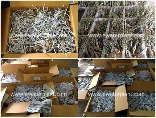 Desert-rose-plant-thailand-packing-tile
