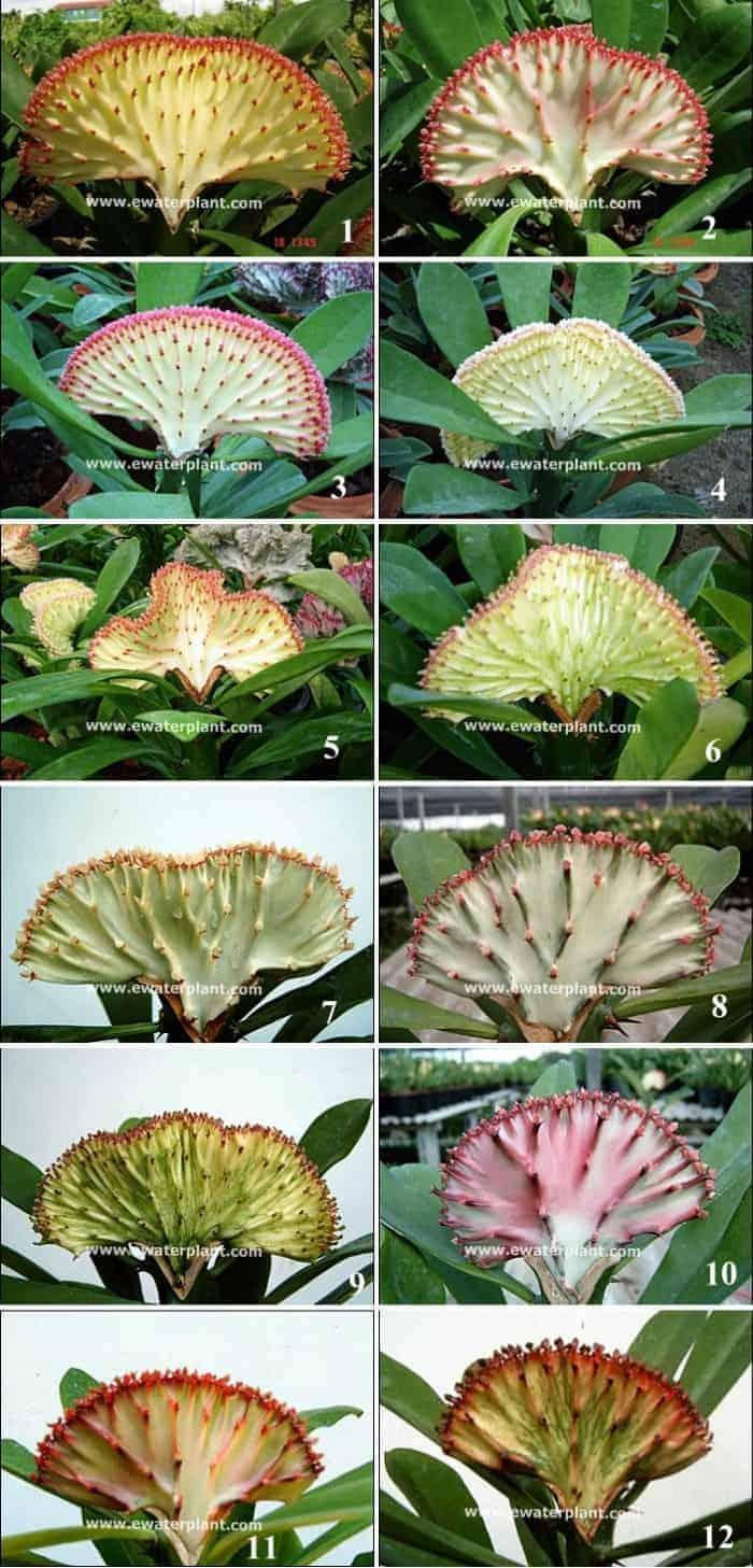 Euphorbia lactea crest catalog