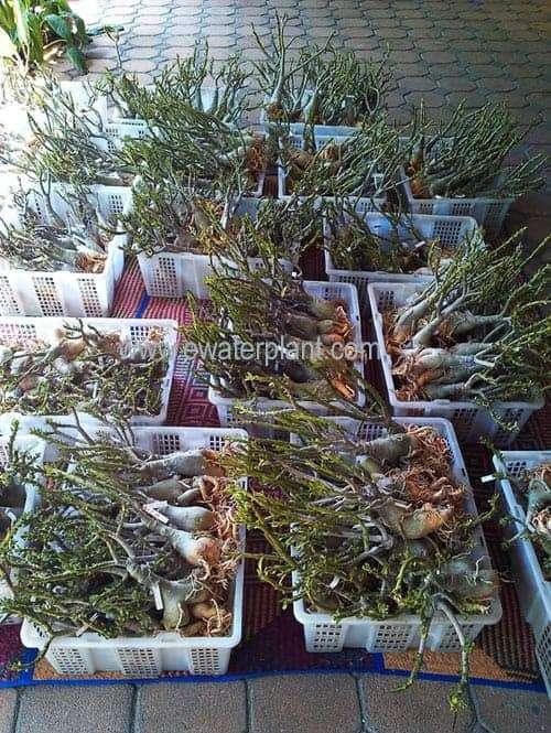 Adenium new flower for sale
