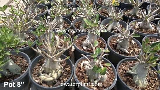 Adenium arabicum ewaterplant