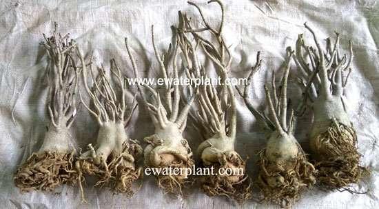 Adenium arabicum Thailand