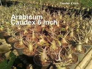 Arabicum3-300x225