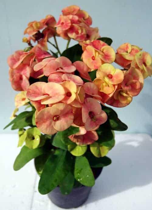 New flower Euphorbia milii