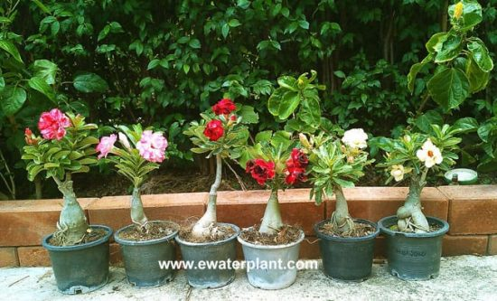Adenium Thailand in pot 4 inch