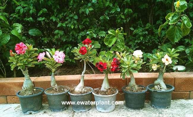 Adenium Thailand in pot 4 inch
