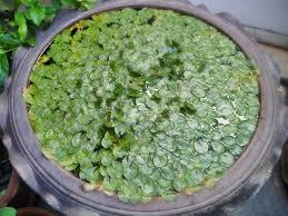WaterLily-No-Flower