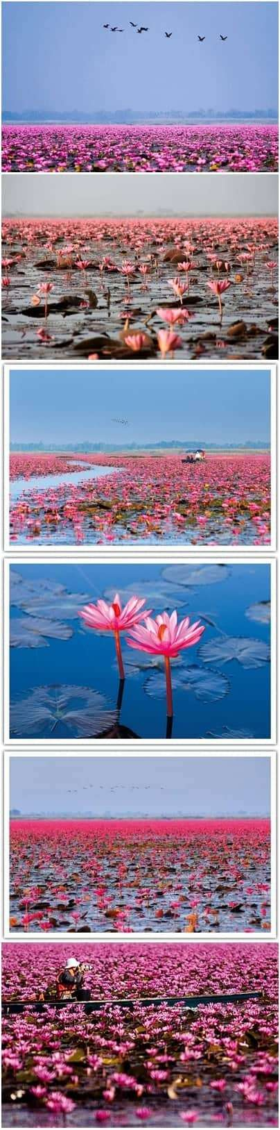 NongHan-Thailand-Red-Lotus-Lake