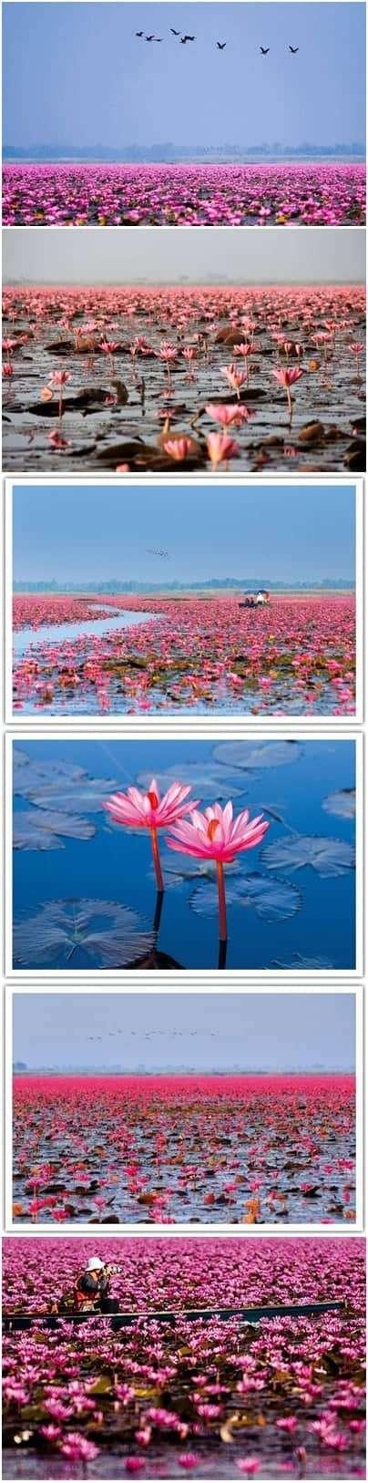 NongHan-Thailand-Red-Lotus-Lake