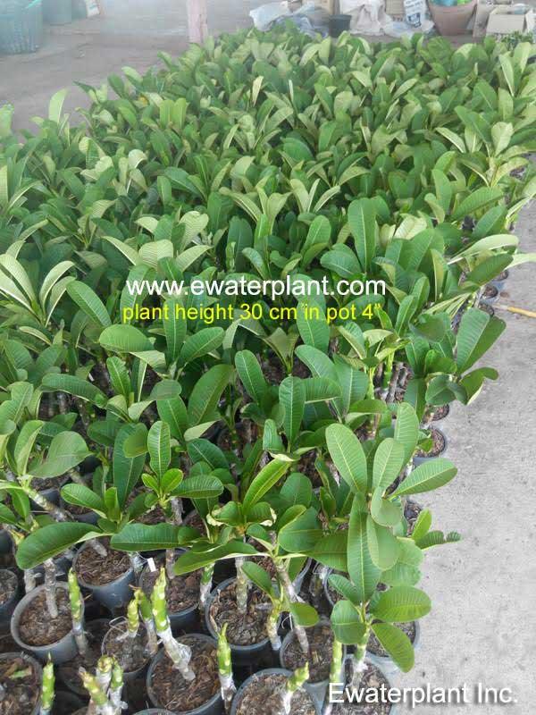 Plumeria-plant-30cm