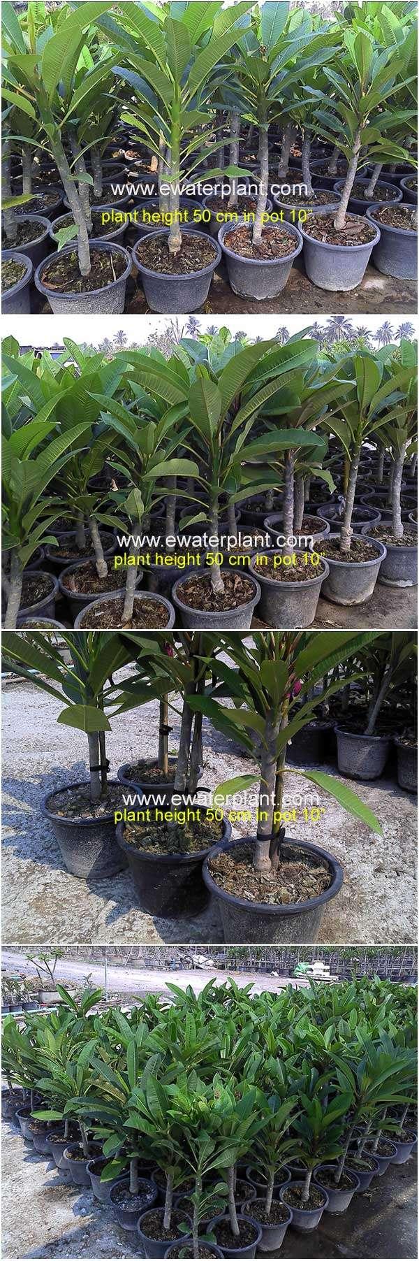 Plumeria-plant-Thailand-50c