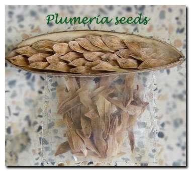 Plumeria seed pod
