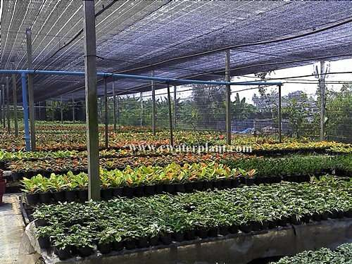 Thai aglaonema nursery