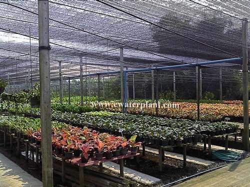 Thai Aglaonema garden Bangkok