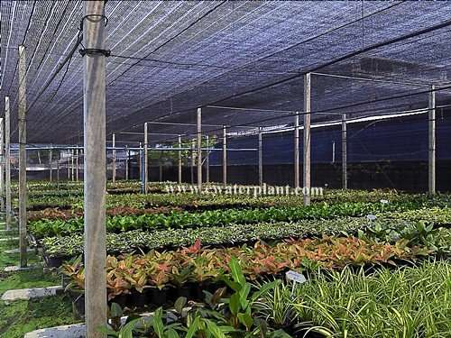 Supplier Aglaonema