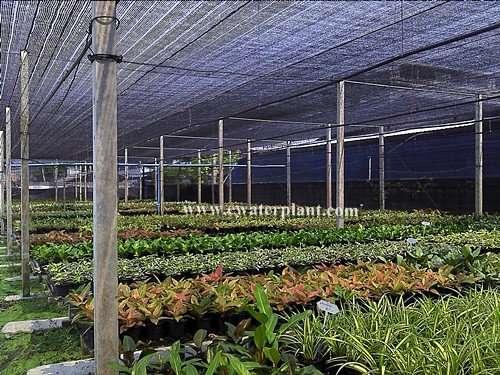 Thai-Aglaonema-nursery-4