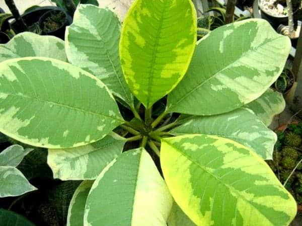 Plumeria variegate golden leave