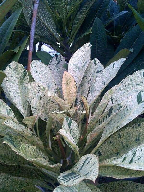 Thai-variegate-Plumeria-1