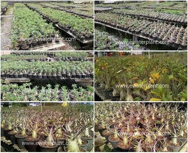 Visit A Genuine Adenium Desert Rose Nursery In Thailand
