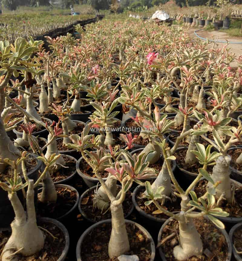 Nursery desert rose for sale in Thailand