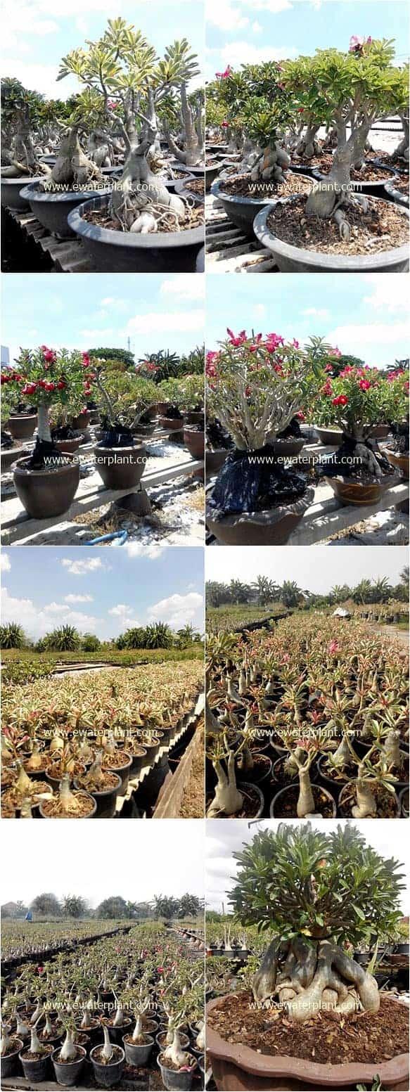 Rosy Adenium nursery in Bangkok