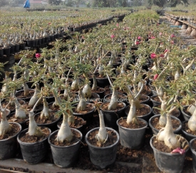 Thailand-Adenium-nursery