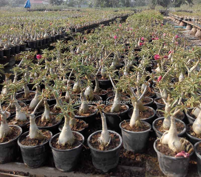 Thailand Adenium nursery & supplier