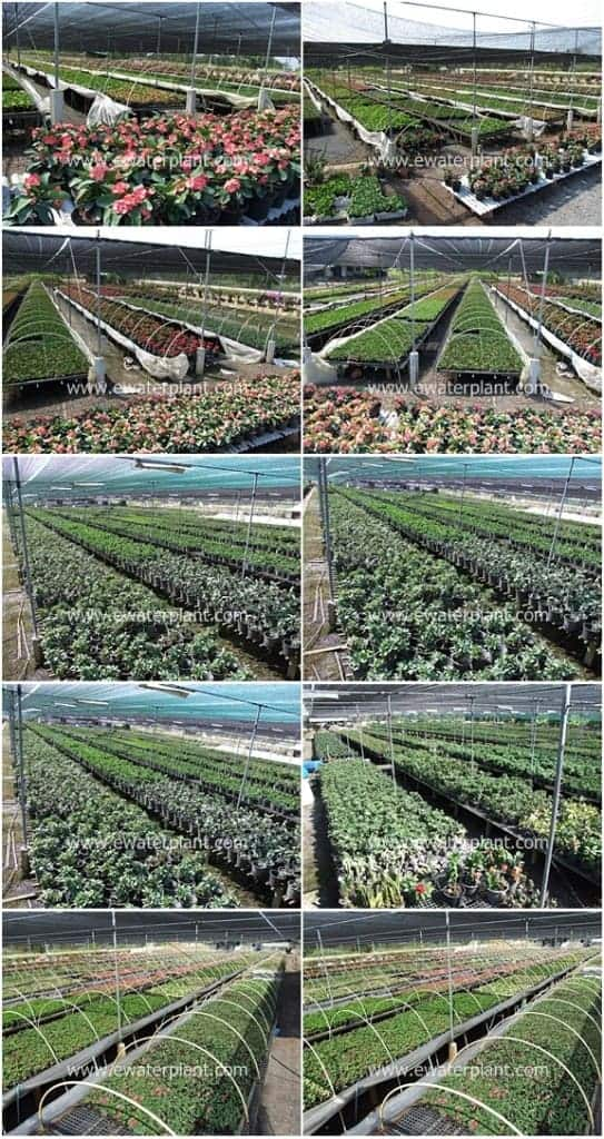 Euphorbia-milii-nursery-Thailand