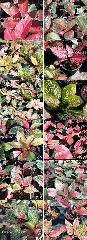 Aglaonema plants variety
