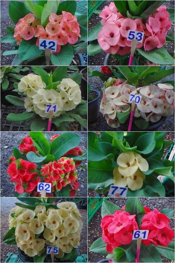 Euphorbia-milii-Thai-tile-2