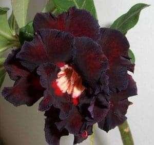 Thai-black-adenium-2