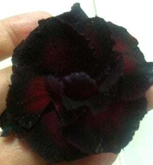 Thai-black-adenium-3