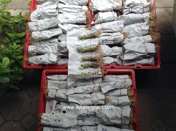 Packing Euphorbia milii size S