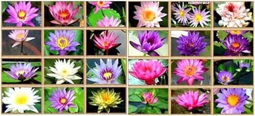 A large water lily garden in bangkok thailand we supply tropical tropical thaiwaterlily catalog 2018 mightylinksfo