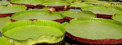 Victoria-Giant-WaterLily-Thailand