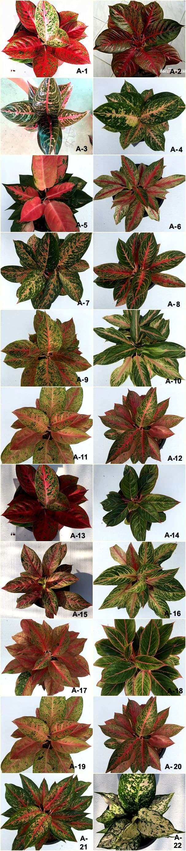 Aglaonema Varieties List - Caldwellcountytxoem.com