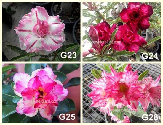 2016 Thai Adenium set G-Set-2